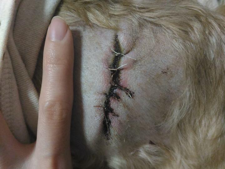 シーズー犬まろん 脂肪腫手術の傷 黒いかさぶた