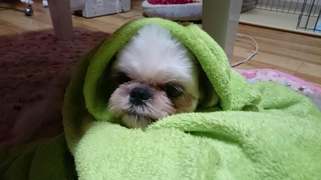 毛布にくるまるシーズーのえいと
