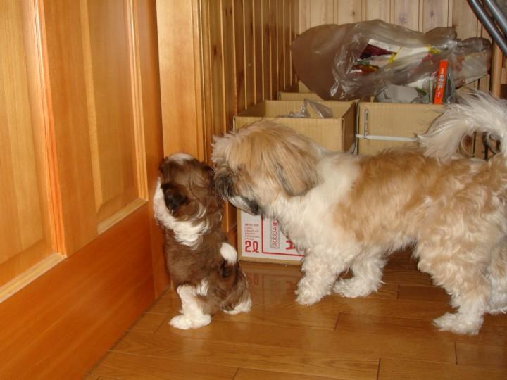 シーズーの子犬まろんを追いかける先住犬チップ