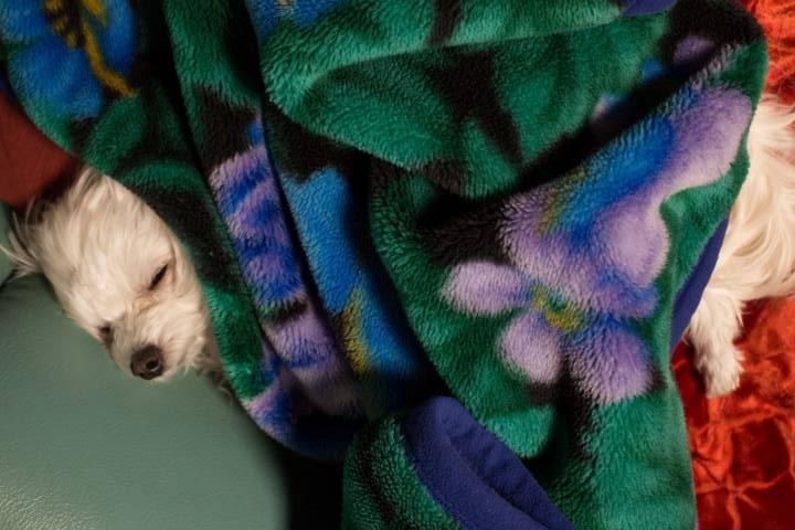 m毛布が大好きなマルプーはる