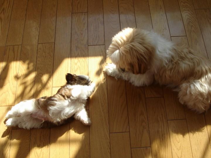 シーズーの子犬と先住犬