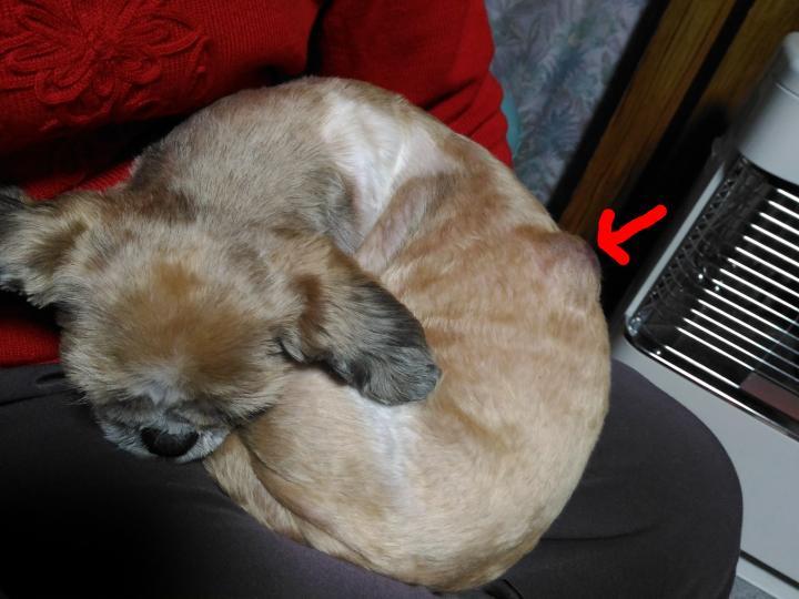 シーズー犬まろんの背中の脂肪種のコブ