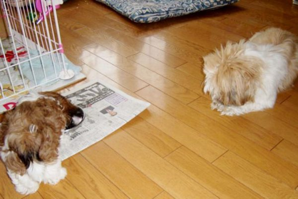 子犬を見守る先輩シーズー