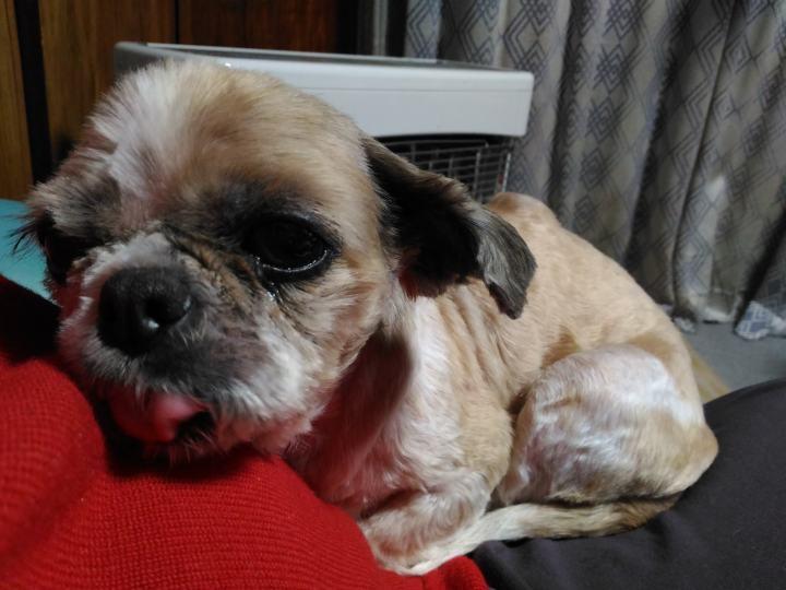 犬の脂肪腫の診断方法とシーズー犬まろん