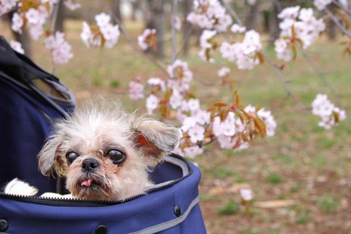 シーズーまろんと平成最後の桜