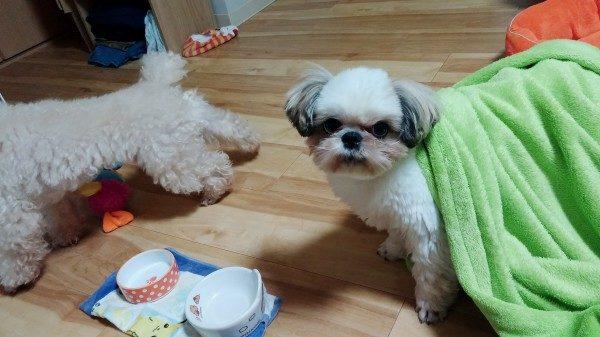 毛布をかぶったシーズーえいと