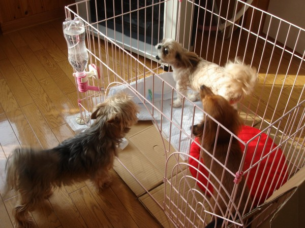 シーズー、ミニチュアダックスフンド、ヨーキーとシュナウザーのミックス犬