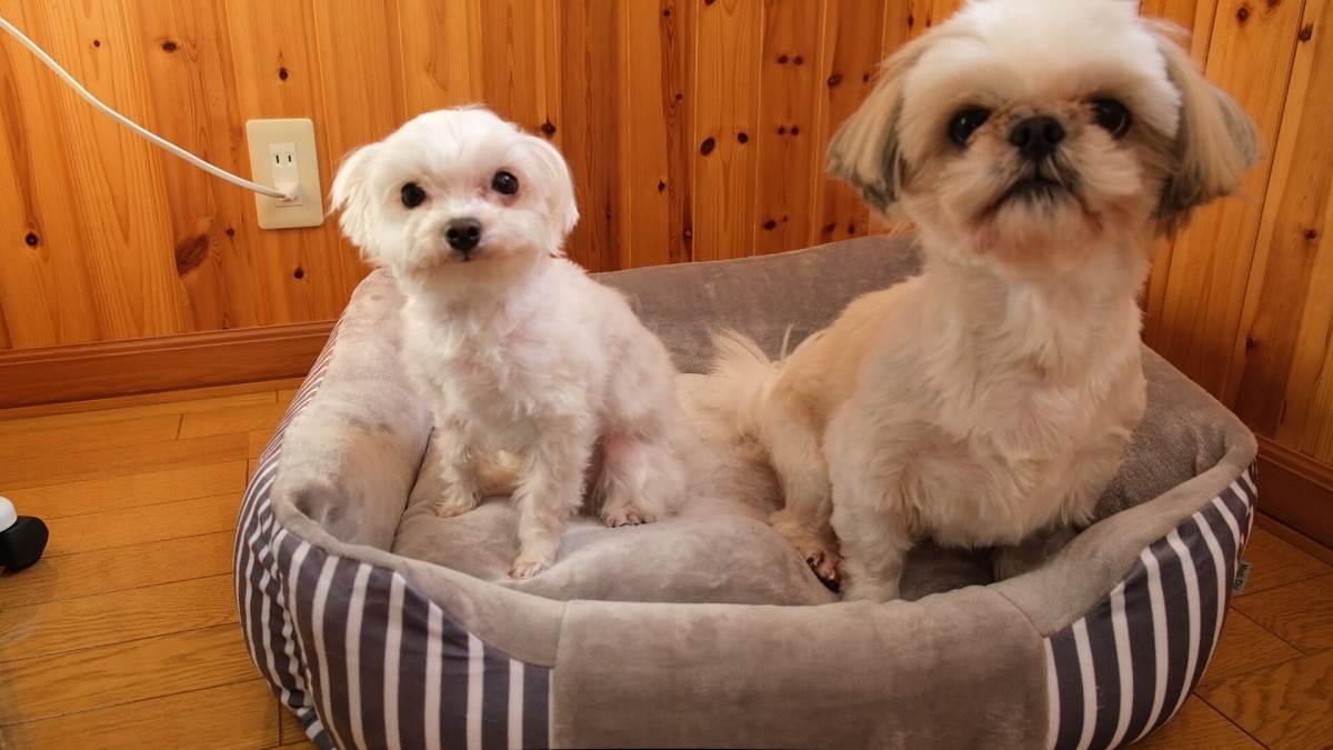 ペット用ベッドを手に入れたシーズーとマルプー