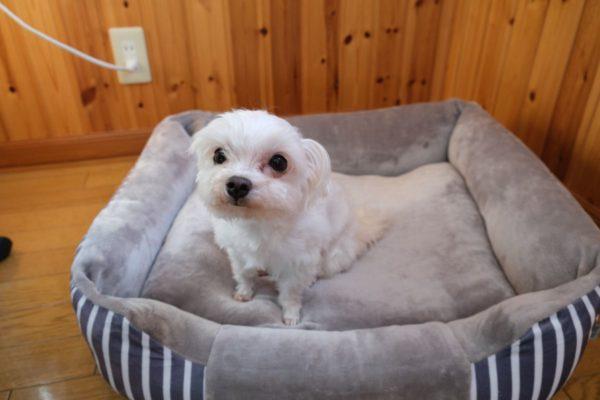 犬用ベッドの上のマルプーはる