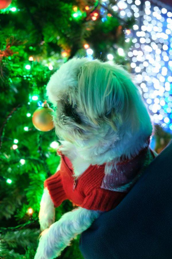 クリスマスツリーをじっくり見るシーズー