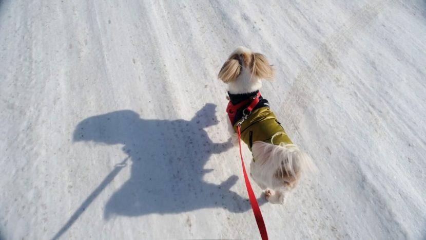 シーズーと冬の散歩