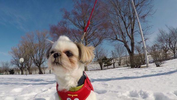 雪の中で立ち止まるシーズー