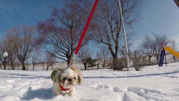 雪の中で動かなくなるシーズー