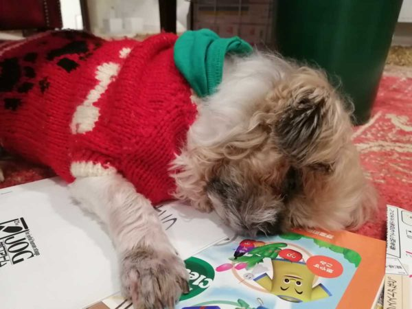 熟睡中の高齢犬シーズーのチップ