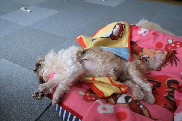 すごい体勢で眠るシーズーチップ